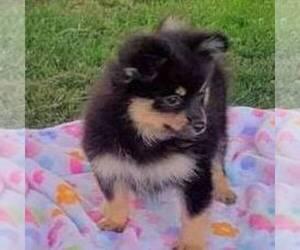 Pomeranian Puppy for sale in JOHNSTOWN, NE, USA