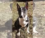 Puppy 4 Bull Terrier