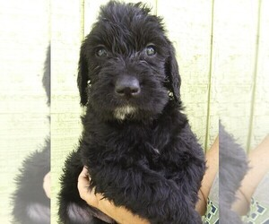 Labradoodle Puppy for Sale in KALISPELL, Montana USA
