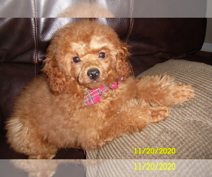 Poodle (Miniature) Puppy for sale in DULUTH, GA, USA