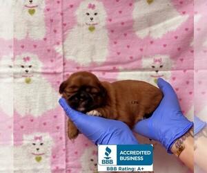 Shih Tzu Puppy for sale in WINNSBORO, LA, USA