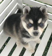 Alaskan Klee Kai Puppy For Sale in WINCHESTER, OH, USA
