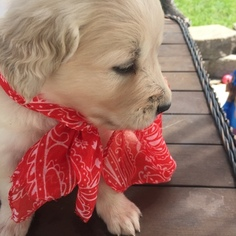 Golden Retriever Puppy For Sale in CENTERVILLE, UT