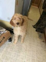 View Ad English Setter Poodle Standard Mix Puppy For Sale Near Minnesota Bremen Usa Adn 113420