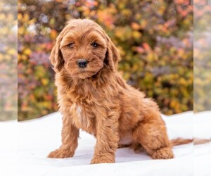 Goldendoodle-Poodle (Miniature) Mix Puppy for sale in MYERSTOWN, PA, USA