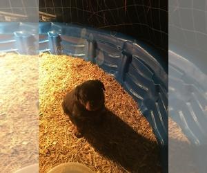 Rottweiler Puppy for sale in CORDOVA, TN, USA