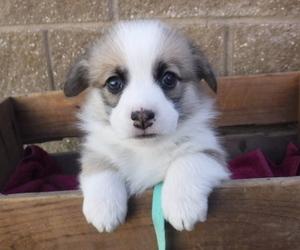 Pembroke Welsh Corgi Puppy for sale in REDDING, CA, USA