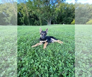 German Shepherd Dog Puppy for sale in MECHANICSVILLE, MD, USA