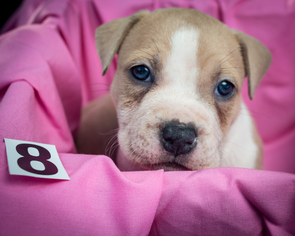 American Pit Bull Terrier Puppy For Sale in MALVERN, AR