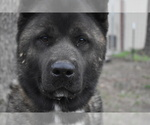 Small Photo #2 Akita Puppy For Sale in LICKING, MO, USA