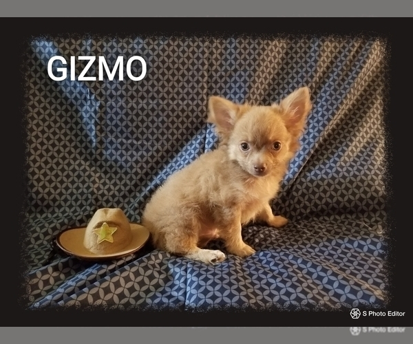 Medium Photo #2 Chihuahua Puppy For Sale in MANSFIELD, TX, USA