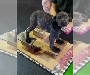 Cane Corso Puppy for sale in YOUNGSTOWN, OH, USA