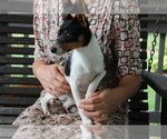 Small #2 Fox Terrier (Smooth)-Jack Russell Terrier Mix