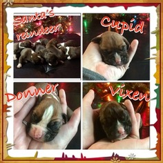 AKC registered Boxer pups
