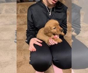 Golden Irish Puppy for sale in GILMAN, WI, USA