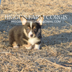 Pembroke Welsh Corgi Puppy For Sale in KIRKSVILLE, MO, USA