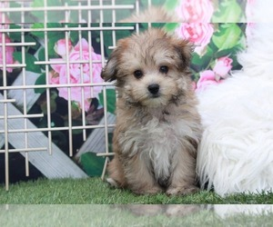 Yorkshire Terrier Puppy for sale in MARIETTA, GA, USA