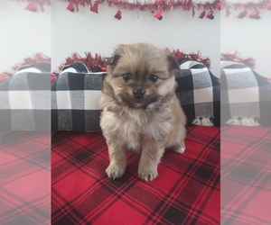 Pomeranian-Poodle (Toy) Mix Puppy for sale in SHIPSHEWANA, IN, USA