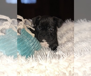 French Bulldog Puppy for sale in NEWARK, OH, USA