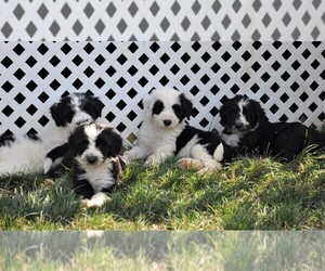Sheepadoodle Puppy for sale in AVILLA, IN, USA