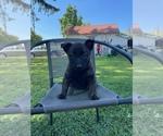 Puppy 5 Dutch Shepherd Dog-Malinois Mix