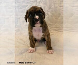 Boxer Puppy for sale in BROOKFIELD, MO, USA
