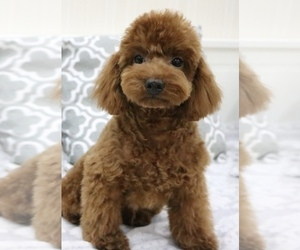 View Ad: Poodle (Toy) Puppy for Sale near Hawaii, HILO, USA