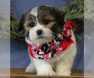 La-Chon Puppy for sale in ORO VALLEY, AZ, USA