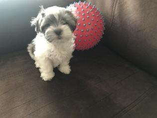 Mal-Shi Puppy For Sale in MARIETTA, GA, USA