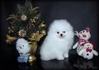 White Teddy bear pomeranian puppy Txt 5012383893