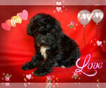 Small Photo #4 Maltese-Maltipoo Mix Puppy For Sale in SAN FRANCISCO, CA, USA