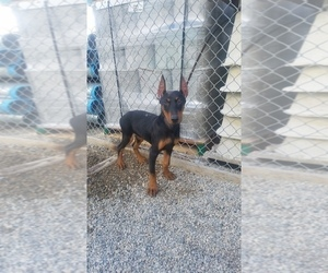 Doberman Pinscher Puppy for Sale in SANTA ANA, California USA
