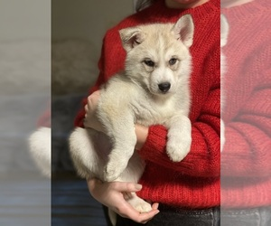 Siberian Husky Puppy for sale in ROSEVILLE, CA, USA
