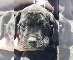 Small #1 Mastiff