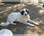 Puppy 6 Anatolian Shepherd-Maremma Sheepdog Mix
