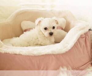 Maltese Dog for Adoption in FULLERTON, California USA