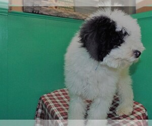 Miniature Bernedoodle Puppy for sale in PATERSON, NJ, USA