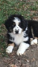 Miniature Australian Shepherd Puppy For Sale in MEMPHIS, TN, USA