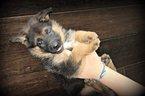 German Shepherd Dog Puppy For Sale in DIAMOND, MO, USA