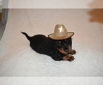 Dachshund Puppy For Sale in BENTON, AR, USA
