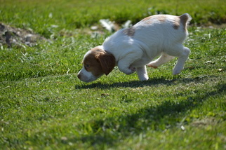 Brittany Puppy For Sale in RIGBY, ID, USA