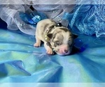 Small Photo #4 Bullhuahua-Chihuahua Mix Puppy For Sale in RAWSONVILLE, MI, USA