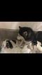 Siberian Husky Puppy For Sale in LEBANON, IN