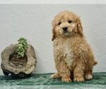 Puppy 1 Bernedoodle-Poodle (Toy) Mix