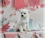 Puppy 2 Pomeranian-Pomsky Mix