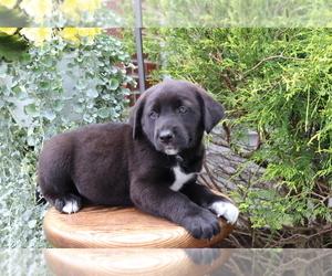 Medium Akita-Labrador Retriever Mix