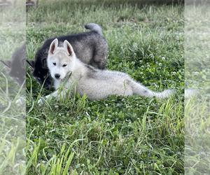 Siberian Husky Puppy for Sale in SALEM, Oregon USA