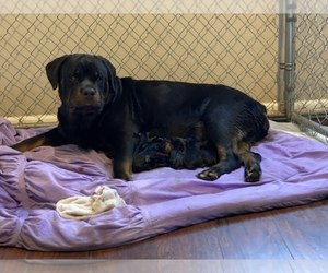 Rottweiler Puppy for sale in GREENTOWN, IN, USA