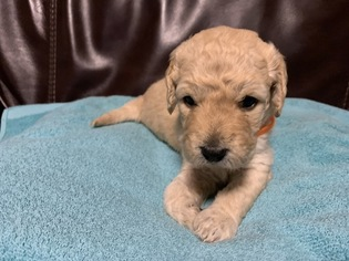 Goldendoodle Puppy For Sale in FOUNTAIN, CO, USA