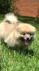 Pomeranian Puppy For Sale in LOUISVILLE, KY, USA